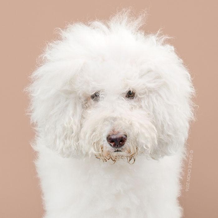 fotos-perros-antes-despues-corte-pelo-grace-chon (5)