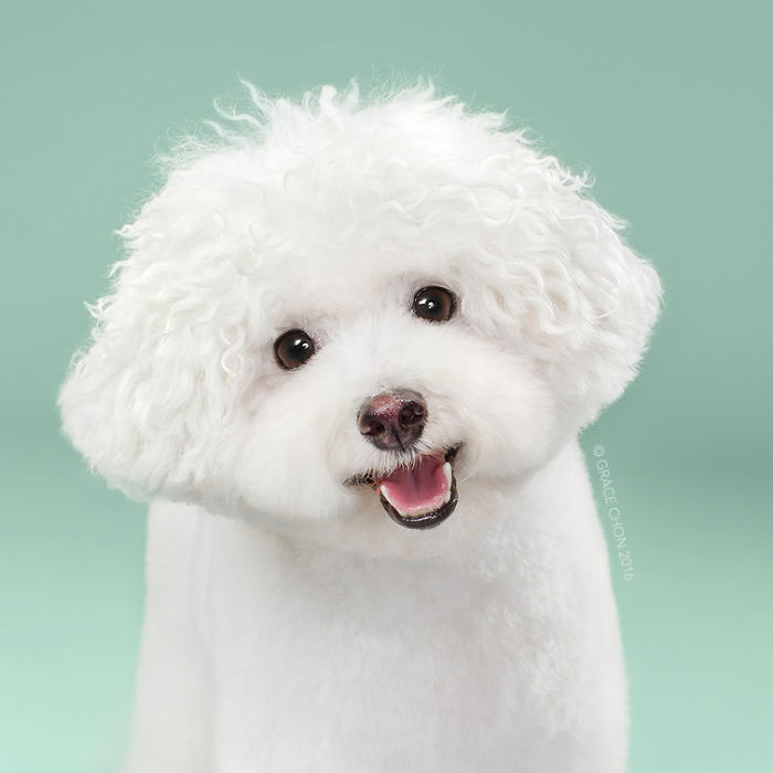 fotos-perros-antes-despues-corte-pelo-grace-chon (9)
