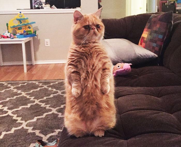 Este es George, un gato muy humano que prefiere estar sobre 2 patas (2ª parte)