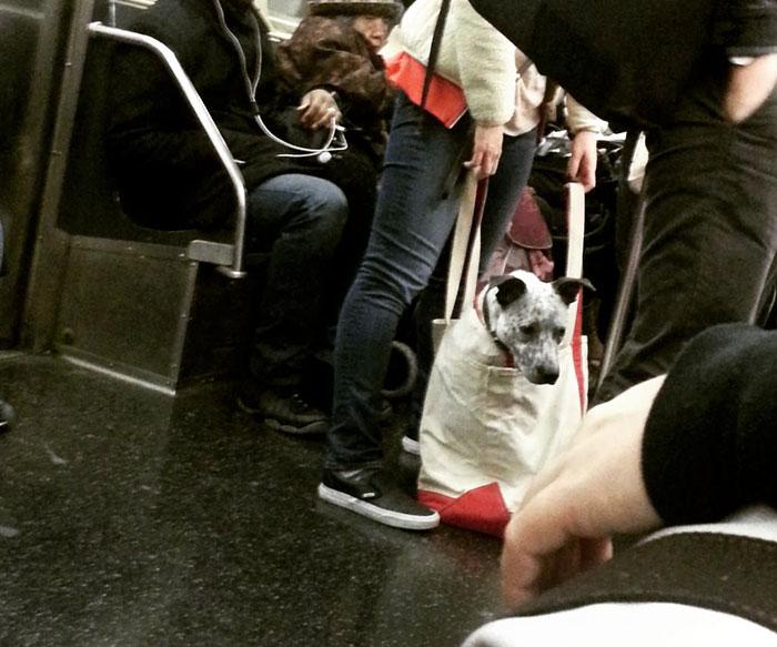 perros-grandes-bolsos-metro-nueva-york (4)