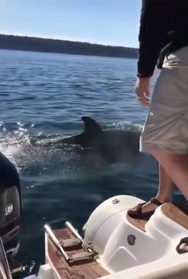 Una foca perseguida por 12 ballenas asesinas hambrientas saltó al interior de un barco buscando ayuda