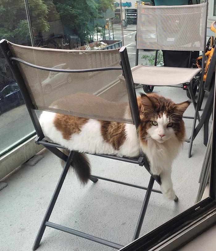 gato-gigante-maine-coon-samson-jonathan-zurbel-nueva-york (1)