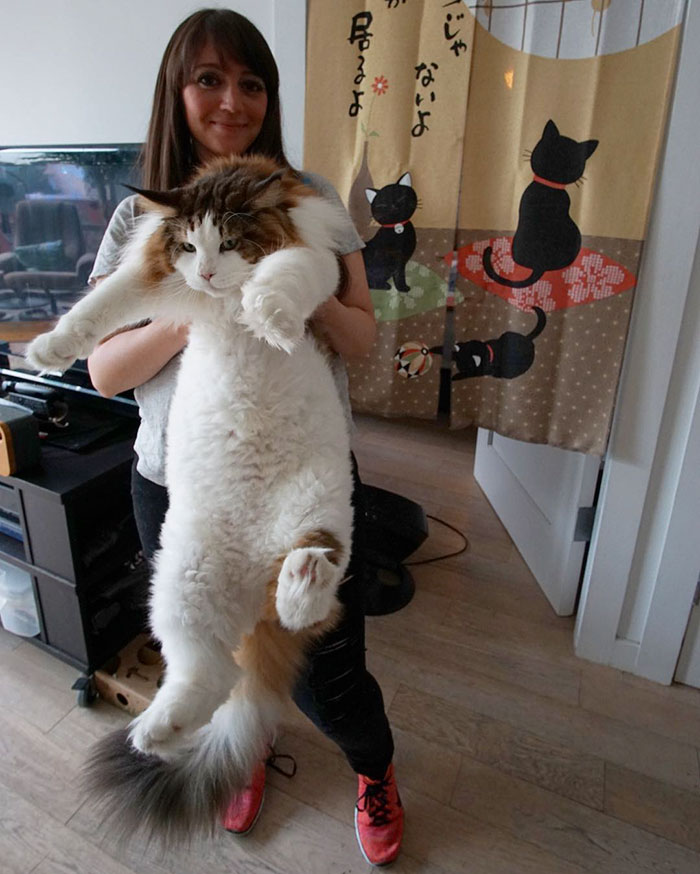 gato-gigante-maine-coon-samson-jonathan-zurbel-nueva-york (3)