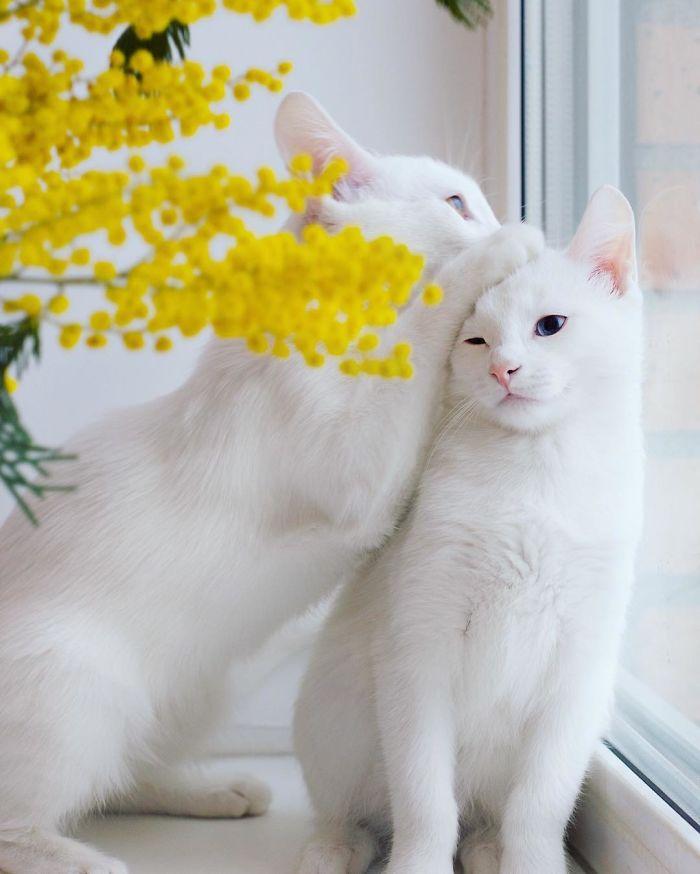 gatos-gemelos-ojos-heterocromaticos-iriss-abyss (7)