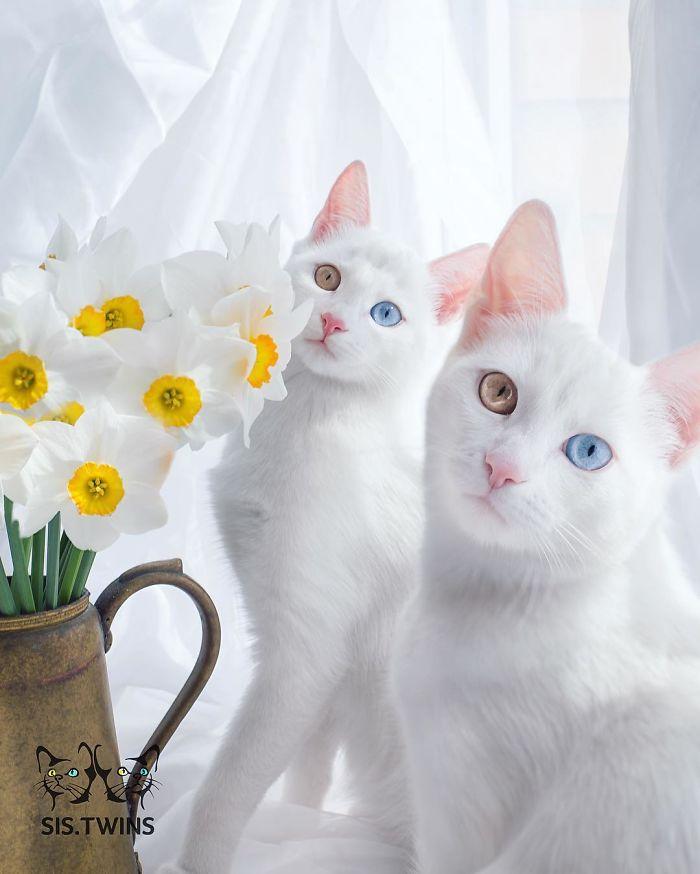 gatos-gemelos-ojos-heterocromaticos-iriss-abyss (8)