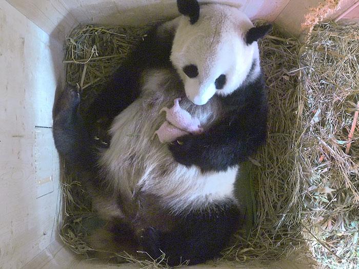Esta panda gigante sorprende a sus cuidadores con oseznos gemelos aunque el escáner solo mostraba uno