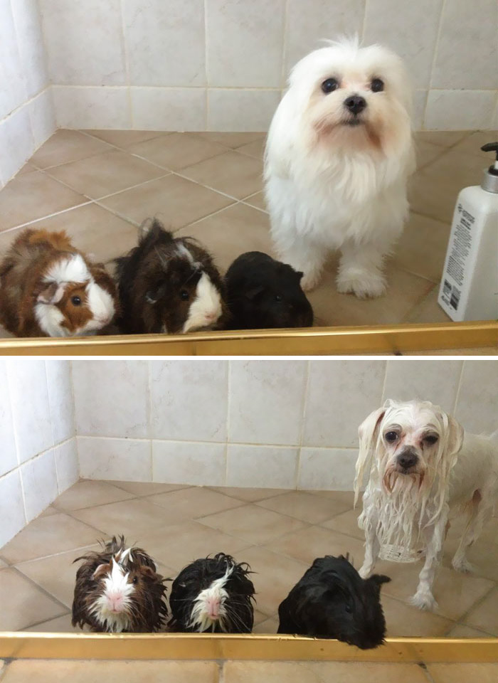 perros-mojados-antes-despues-bano (4)