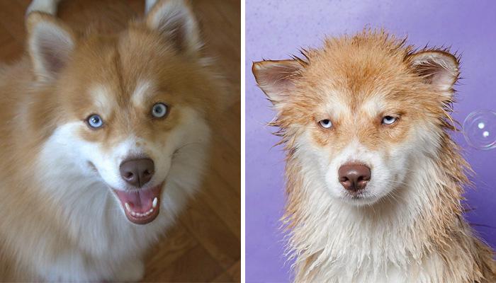 perros-mojados-antes-despues-bano (9)