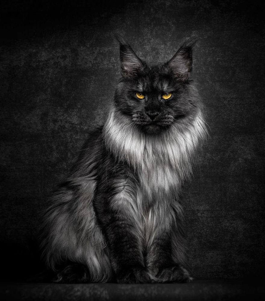 Bestias míticas: Este fotógrafo capta la belleza majestuosa de los gatos Maine Coon