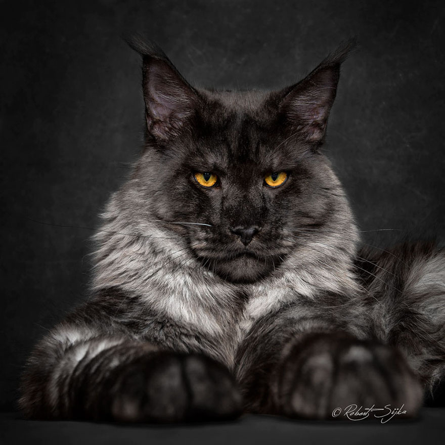retratos-gatos-maine-coon-robert-sijka (10)