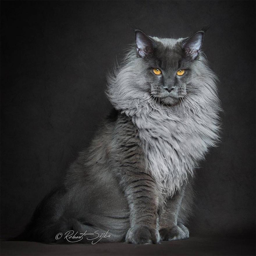 retratos-gatos-maine-coon-robert-sijka (12)