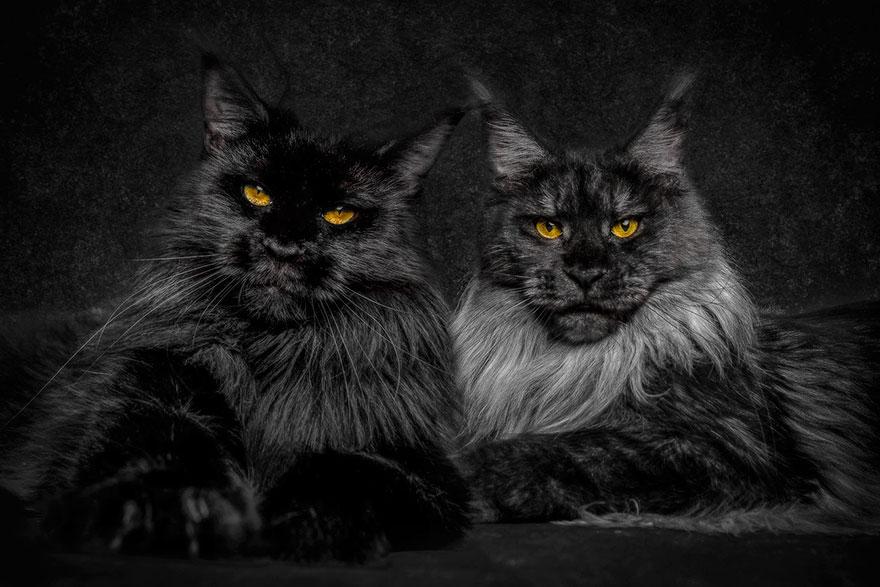 retratos-gatos-maine-coon-robert-sijka (3)