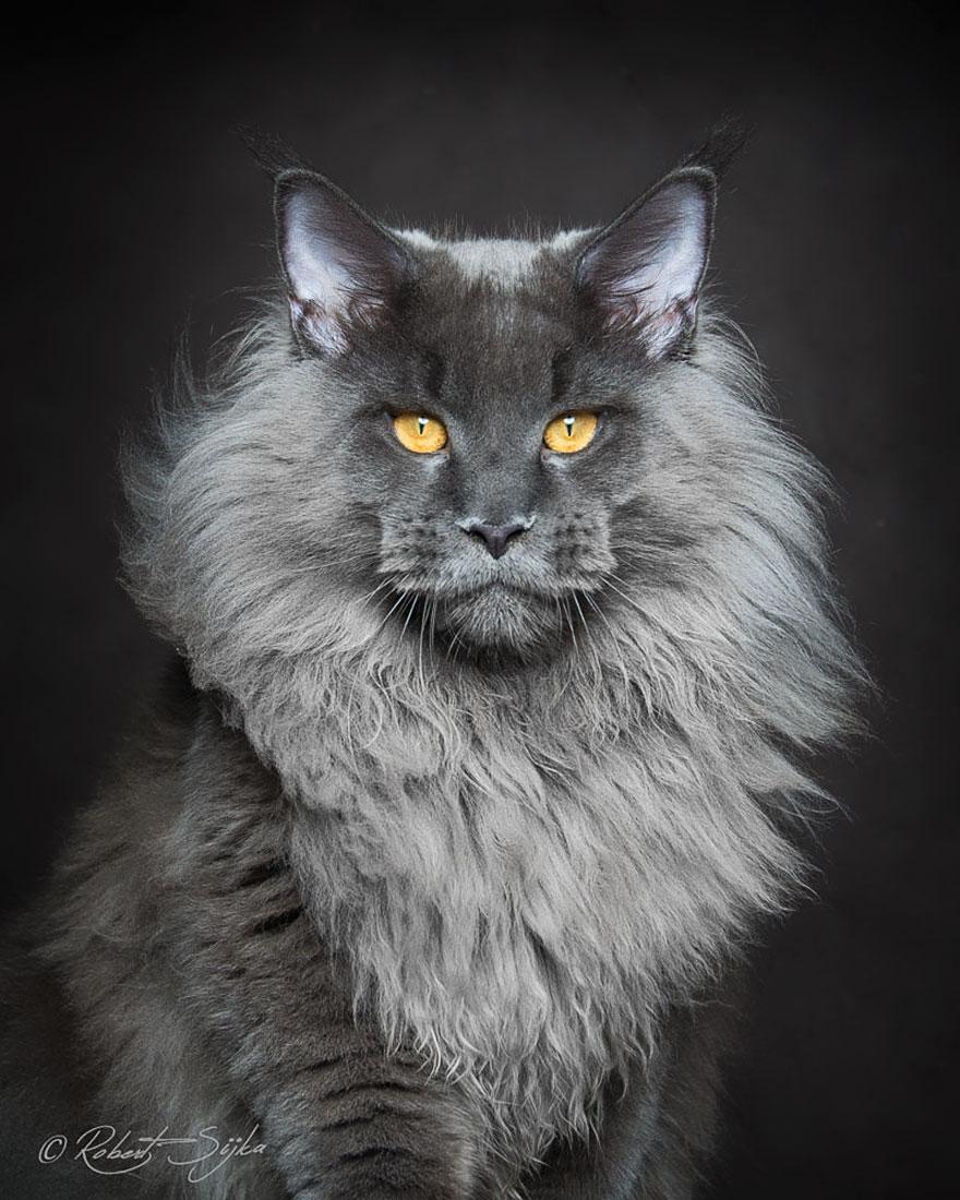 retratos-gatos-maine-coon-robert-sijka (9)