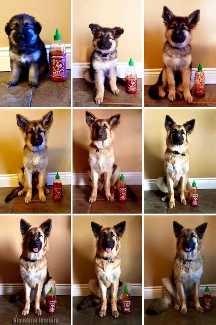 crecimiento-perro-pastor-aleman-escala-sriracha