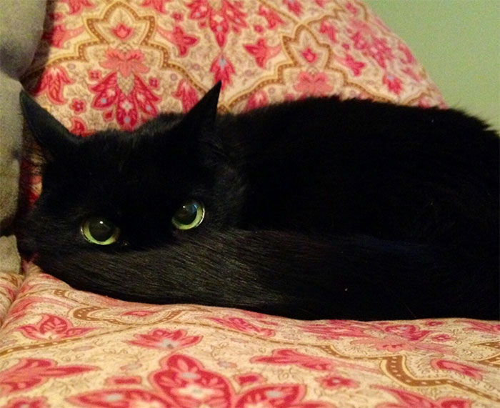 10 Gatos negros que en realidad son Desdentao / Chimuelo disfrazado