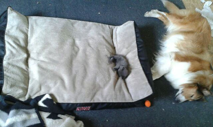 gatos-robando-cama-perros (4)