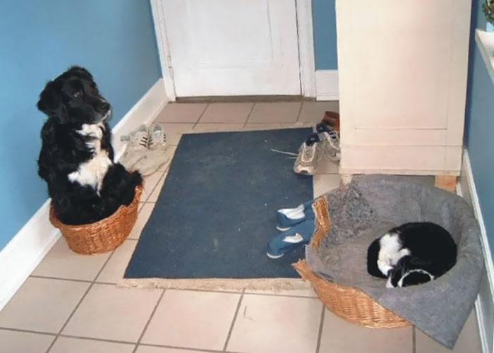 gatos-robando-cama-perros (5)