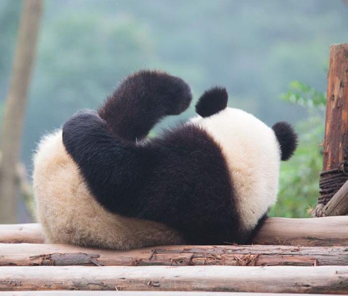 ¡El panda gigante ha dejado de ser una especie amenazada!