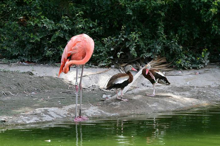 patos-imitando-flamencos (1)