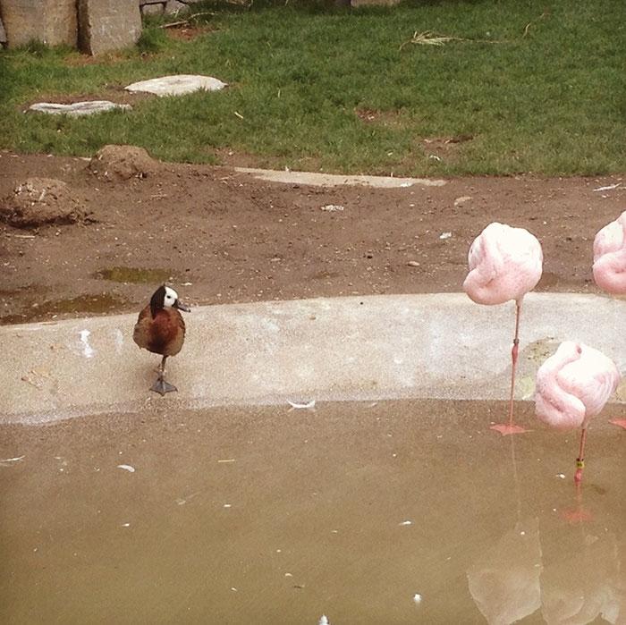 patos-imitando-flamencos (2)
