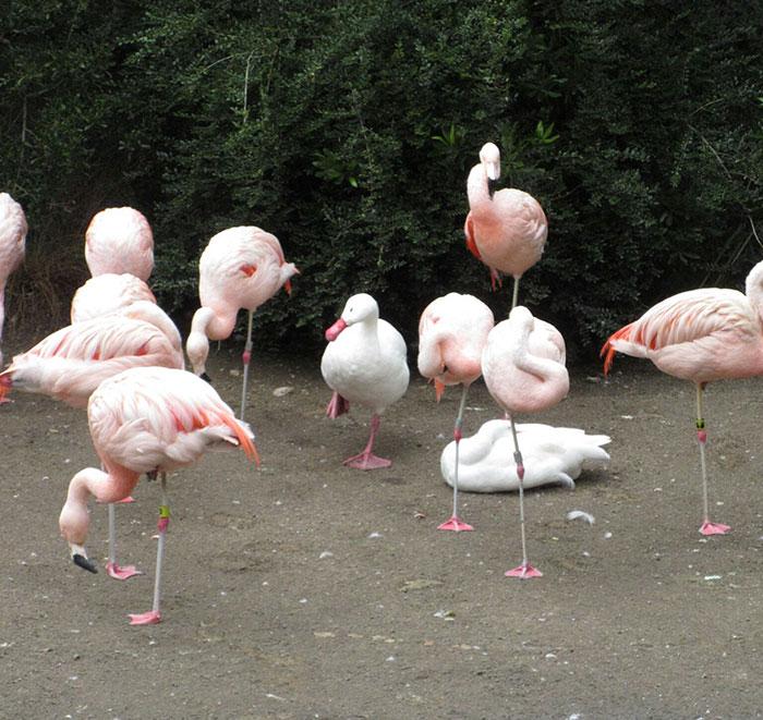 patos-imitando-flamencos (3)