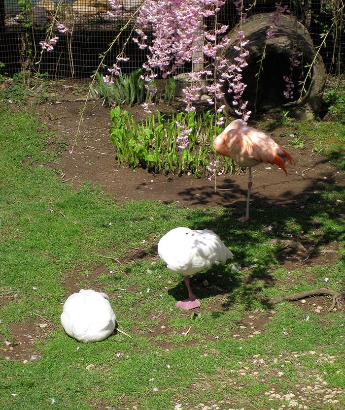 patos-imitando-flamencos (4)