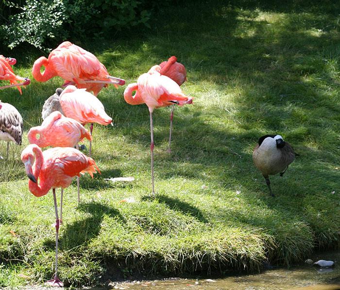 patos-imitando-flamencos (5)