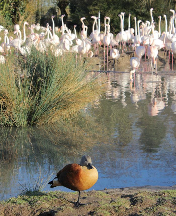 patos-imitando-flamencos (6)