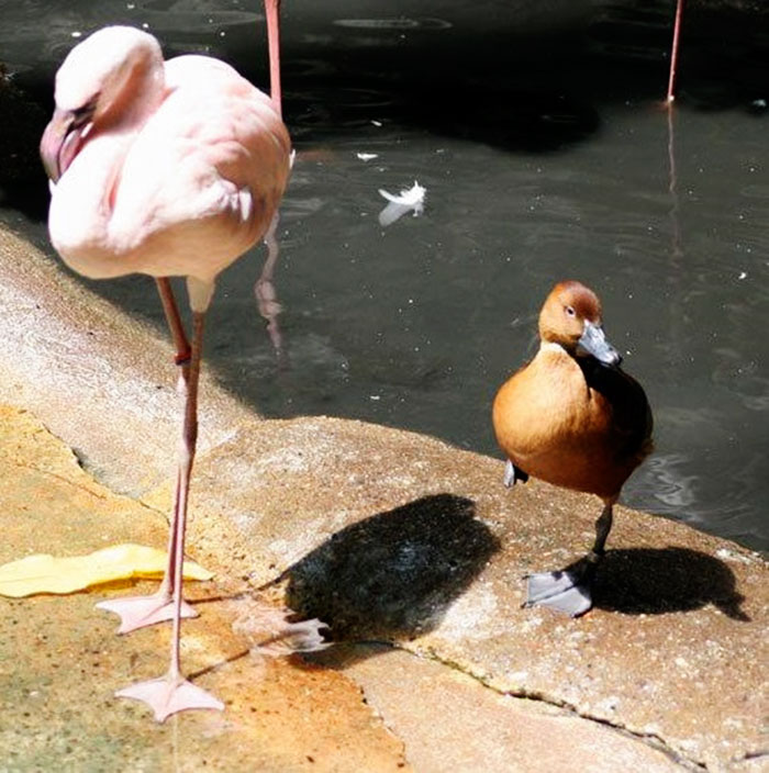 patos-imitando-flamencos (7)