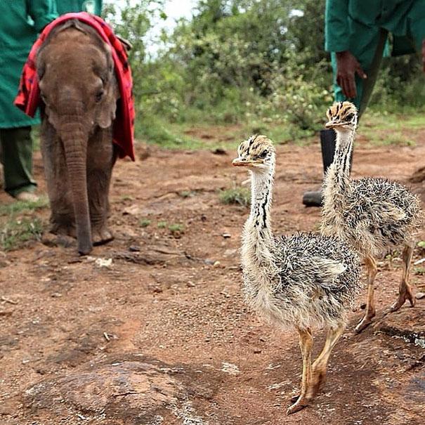 amistad-animales-huerfanos-avestruz-elefante (2)