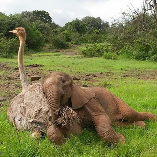 amistad-animales-huerfanos-avestruz-elefante (6)