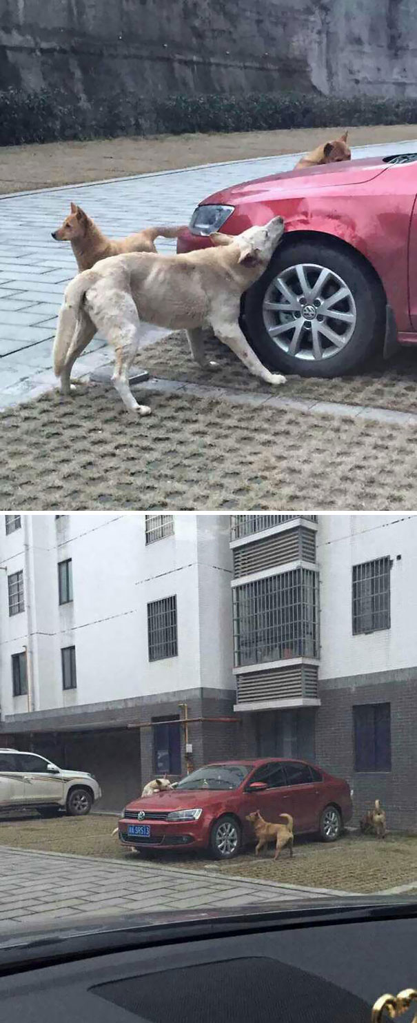 Después De Que El Conductor Pateara A Este Perro Callejero, Volvió Con Amigos A Destrozarle El Coche