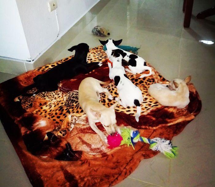 Mi Familia Perruna, 5 Chihuahuas