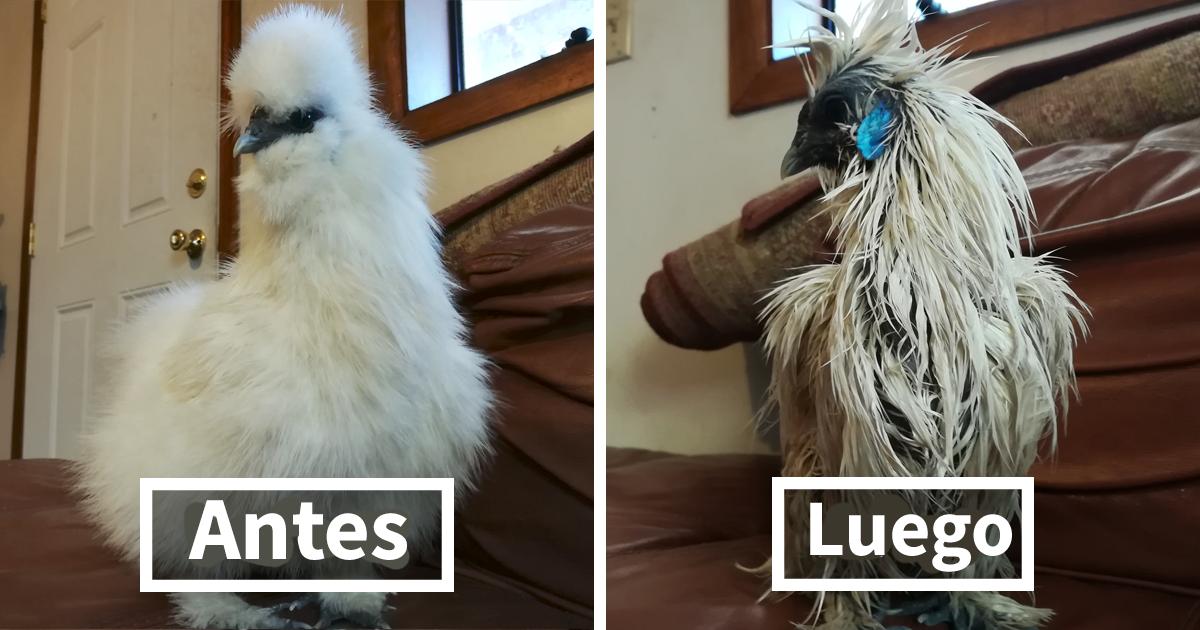 Este dueño no encontraba a su gallina sedosa, así que se fue a investigar