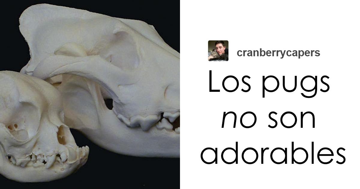 """""""Los pugs no son adorables, sino animales deformes y enfermos que no deberían existir"""": Este hilo de Tumblr cambiará tu modo de ver los pugs"""