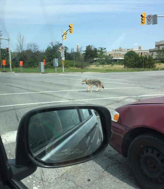Coyote Cruzando La Calle En Ottawa Siguiendo Las Normas