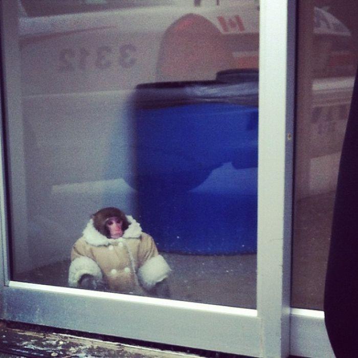 Alguien Ha Perdido A Su Mono En El IKEA De Toronto