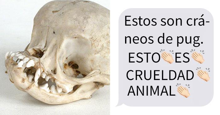 Esta comparación de cráneos de perro muestra por qué es crueldad animal adquirir pugs de pura raza