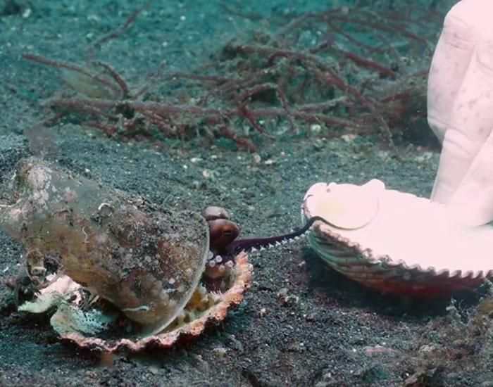 Buzo convence a un pulpo bebé para que abandone su vaso de plástico y lo cambie por una concha