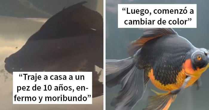 Este pez moribundo fue devuelto a la tienda de mascotas, y esta persona lo cuidó hasta que recobró la salud