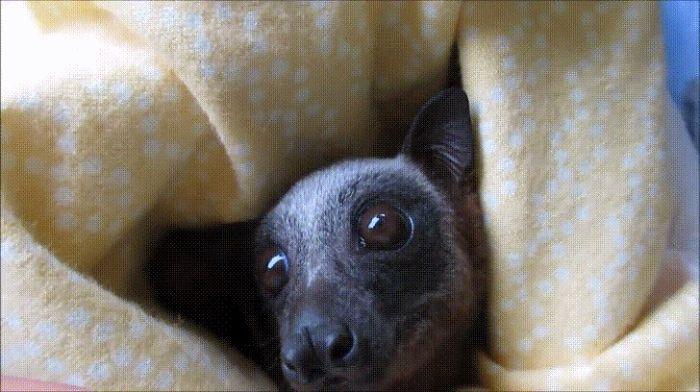 Los Murciélagos No Son Roedores, Son Quirópteros. Tienen Más Relación Con Los Gatos Que Con Las Ratas