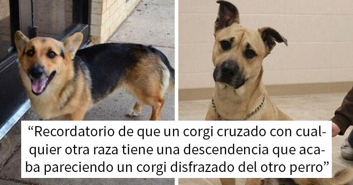 Parece que si cruzas un perro Corgi con otra raza, el resultado parece un Corgi disfrazado del otro perro (23 fotos)