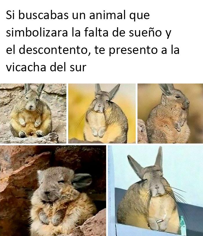 La vizcacha del sur es una especie de roedor nativo de Argentina, Bolivia, Chile y Perú. Pasa gran parte del día tomando el sol, aseándose y descansando